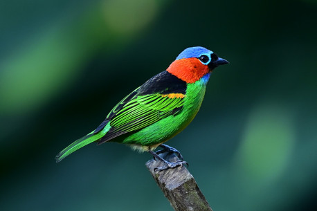 Red necked Tanager