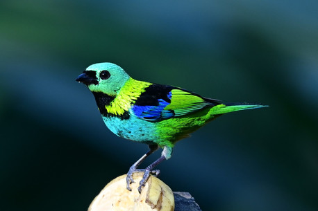 The Green-headed tanager