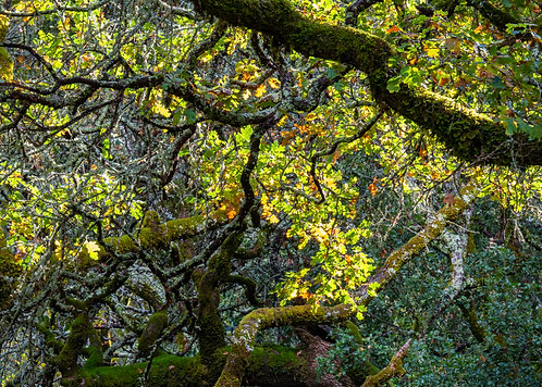 Sunlit Oak Woodlands Note Card