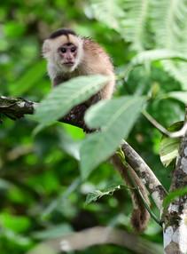 Young Capuchin.JPG