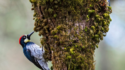 Acorn Woodpeckers - Sonoma