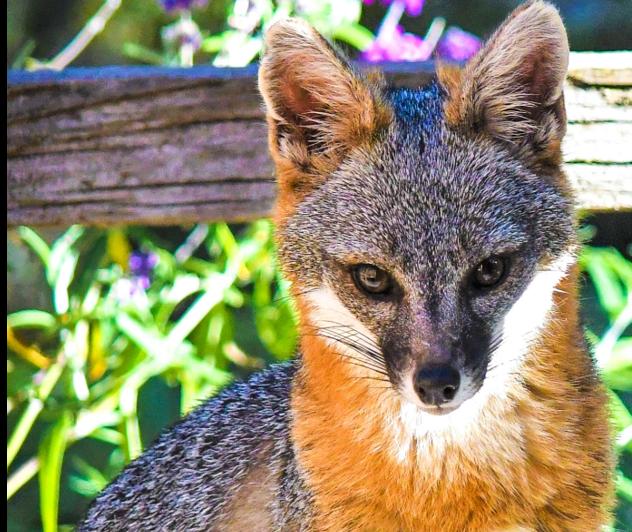 Beautiful female Grey Fox