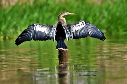 Anhinga drying his wings and 'feather neclace'