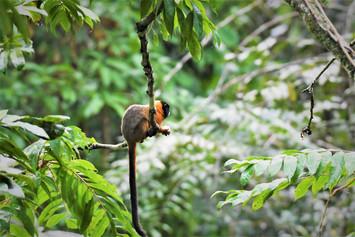 Golden Mantled Tamarin