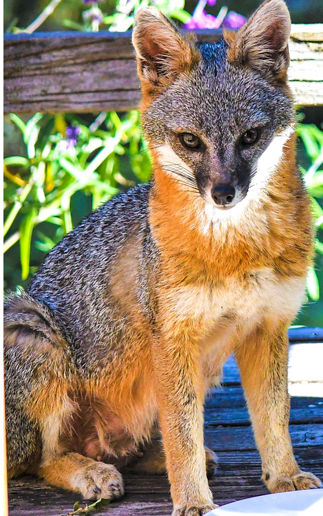Fox Beauty Note Card