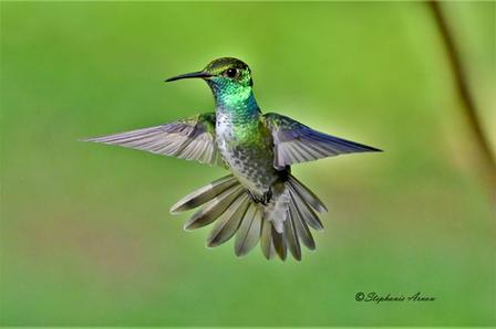 Versicolored Emerald
