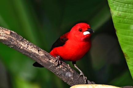 Brazilian Tanager - Atlantic Rainforest