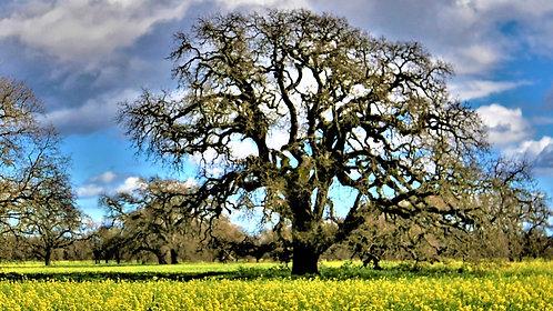 Sonoma Oak in field of mustard