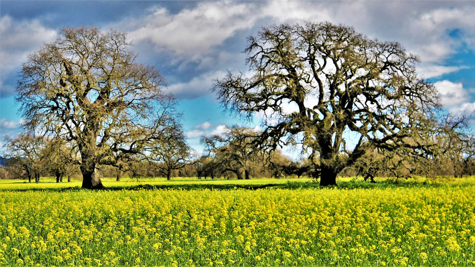 Oak trees in Mustart - Sonoma Valley