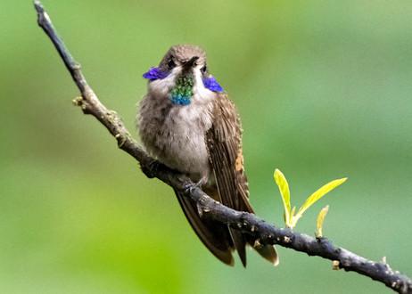 Brown Violet Ear - Ecuador 2020.jpg
