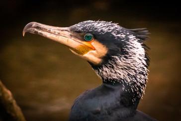 'Cormorant' by Mal  Gribbon
