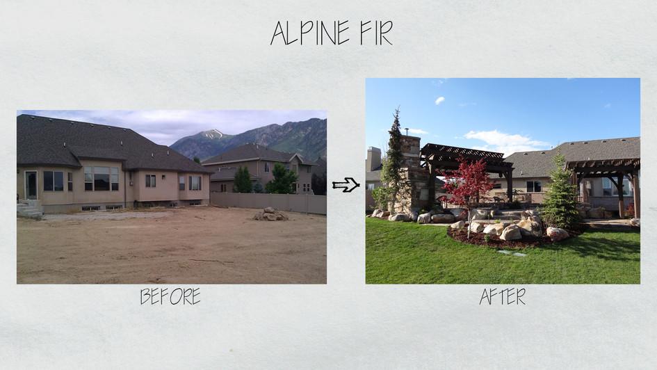 Alpine Fir