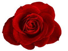 red-rose-4-1.png