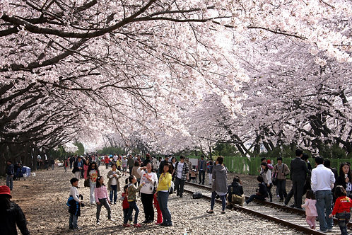 Busan-Chin Hae Naval Base – Romantic Railway Cherry Blossom Viewing One-Day Tour