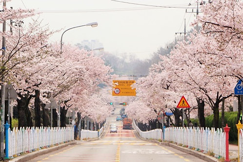 Busan-Cherry Blossom Viewing Two-Days Tour
