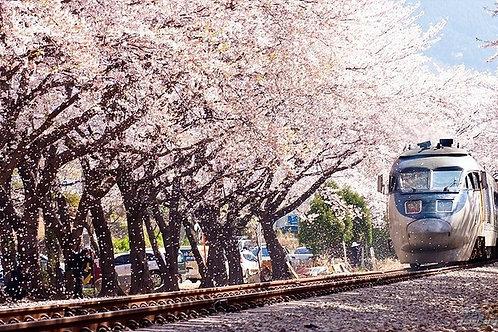 Busan-Jinhae Gunhangje - Cherry Blossom Festival