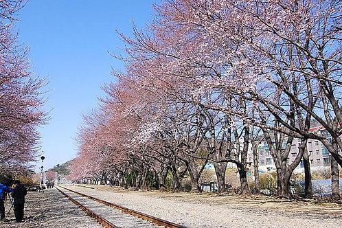 韓國-深入秘景「韓國道人村」、河東「十里櫻花路」、「馬耳山石塔寺」兩天團