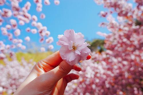 韓國-八重櫻花 全州韓屋村一天團