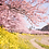 Thumbnail: Busan-Cherry Blossom Viewing Two-Days Tour