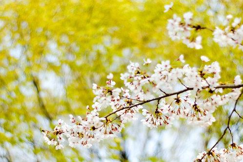 韓國 - 春季賞櫻美食兩天團