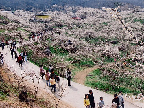 Busan-Cheong Hak Dong & Plum Blossoms Festival One-Day Tour