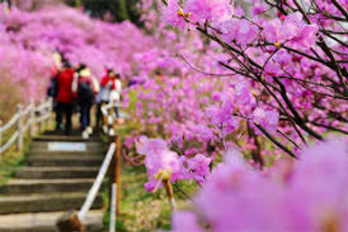 Seoul-Rhododendron & Cherry Blossoms Sea of Flowers One-Day Tour