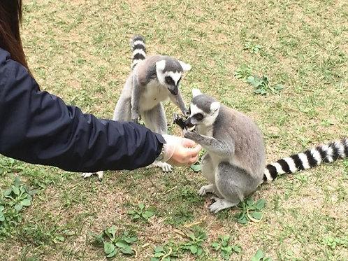 六福村主題遊樂園一日票+環尾狐猴互動活動