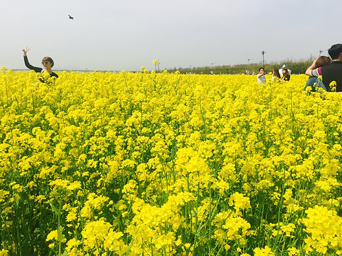 Busan-Rape Flowers Fields One-Day Tour
