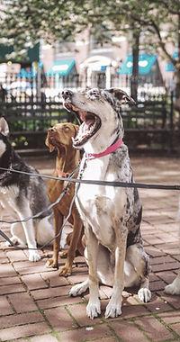 Los perros con Dog Walker