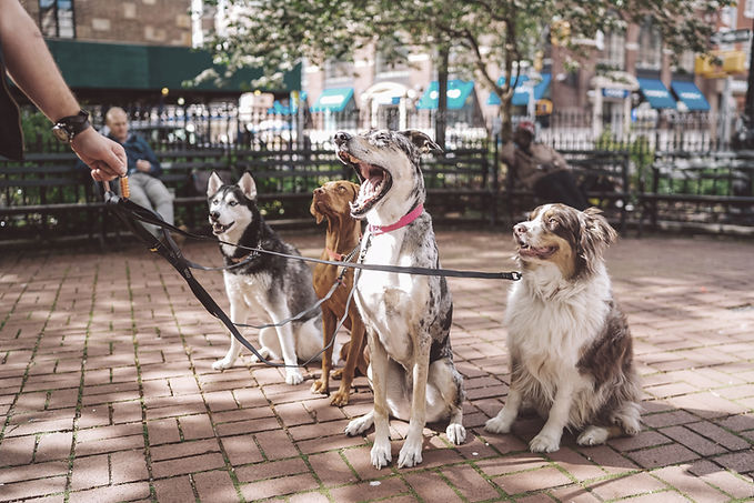 Group of mixed breed dogs sitting in park while being walked on leashes in park