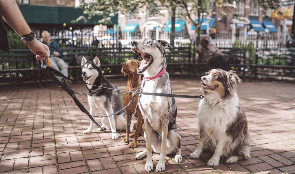 Les chiens avec Dog Walker