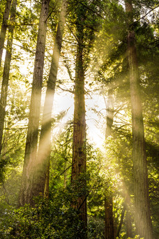 Morning in Muir Woods