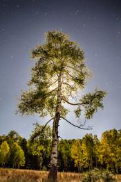 Moonlit Aspen