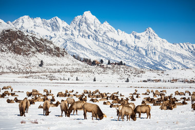 Elk of the Tetons
