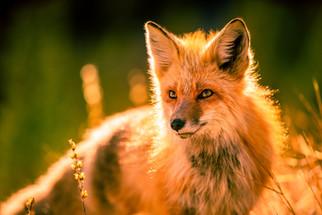 Mr. Fox.