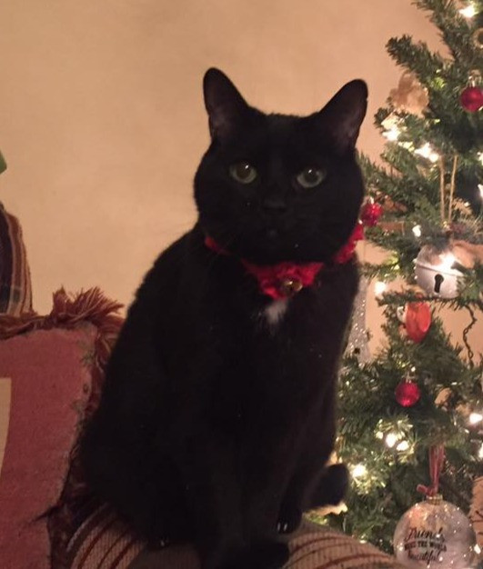 Reference image of black cat for pet portrait