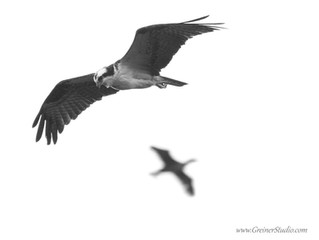 Osprey: Return to Jordan Lake (2017)