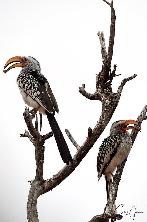 """""""Hornbill Perch"""""""