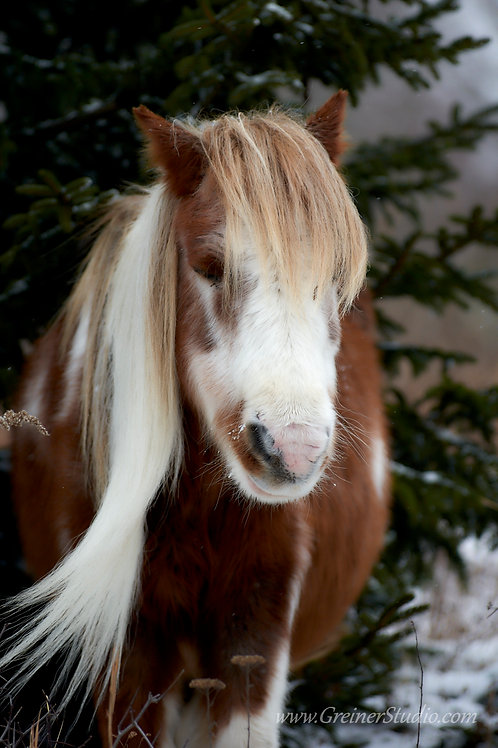 """Highlands Pony"""