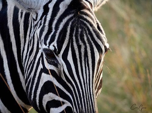 """Zebra Trance"""