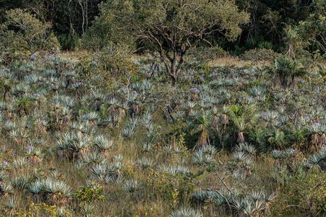 Candombá - Velloziaceae-  EC - 2