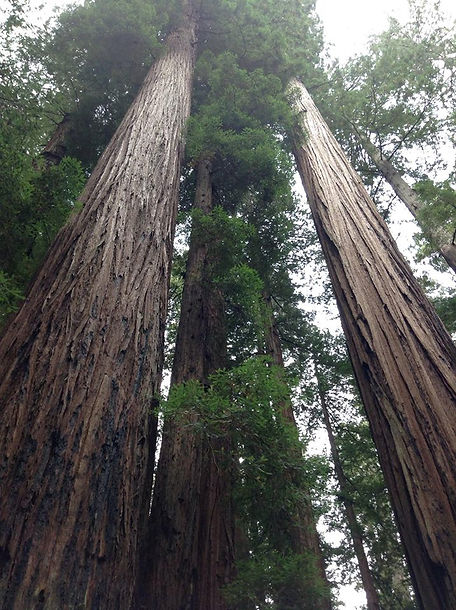 Redwood Trees Avenue of the Giants CA