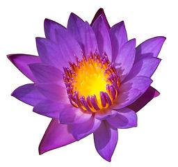 Violet lotus isolated on white backgroun