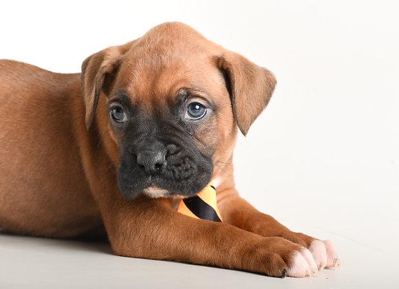 Baxter (boxer)