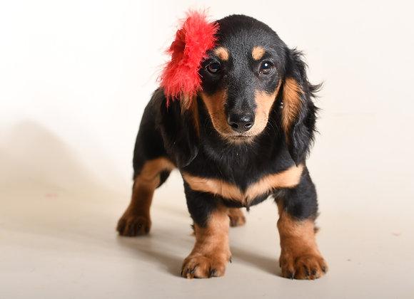 Ruby (Black and Cream Longhair)