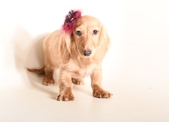 Coco (Cream Longhair)