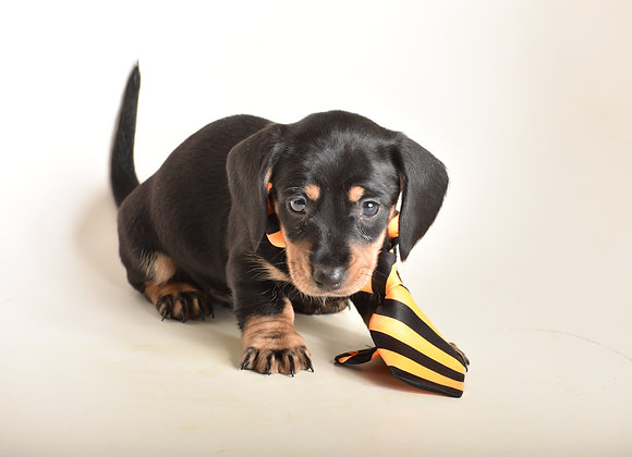 Spudnick (Black and Tan Smooth)