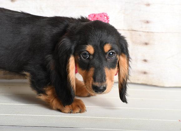 Poppie (Black/Tan Longhair)