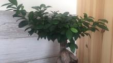 Le GINSENG, une plante qui a fait couler beaucoup d'encre ...