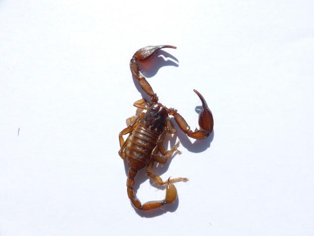 AleDima Scorpion.JPG